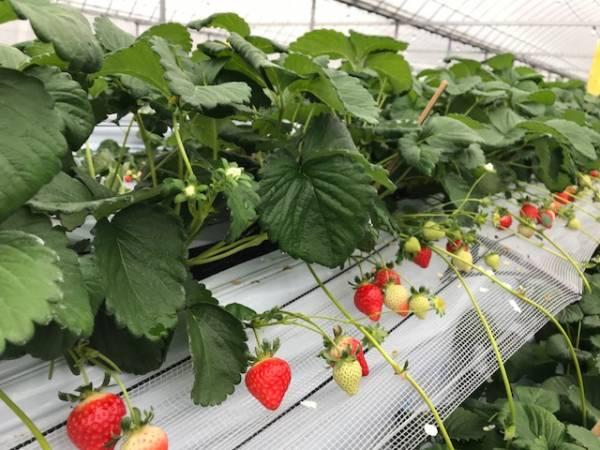 イチゴ狩り予約受付開始!12月~1月が断然チャンスです!